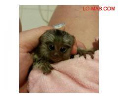Bebé monos tití pigmeo